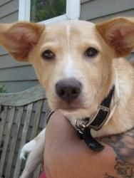 Half-Pint is an adoptable Terrier Dog in South Orange, NJ. Half-Pint is a young mixed-breed puppy who came to the Jersey Animal Coalition from a very high-kill shelter. Had we not stepped in to save h...