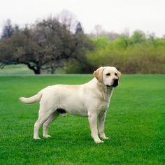 Yellow Labrador Retriever