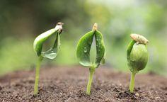 Gartenwissen: Kaltkeimer -  Die Begriffe Kaltkeimer oder Frostkeimer klingen zunächst paradox – schließlich ist es ja die Wärme, die das Wachstum der Pflanzen anregt. Kaltkeimer hingegen brauchen die niedrigen Temperaturen, um keimen zu können.