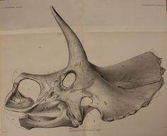 Triceratops flabellatus.  The Ceratopsia  Washington,Govt. Print. Off.,1907.  Biodiversitylibrary. Biodivlibrary. BHL. Biodiversity Heritage Library