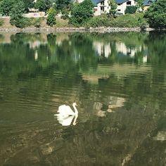 El cisne del lago que no el lago de los cisnes. #finde #nature #benasque