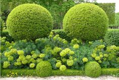 Clipped Boxwood with Euphorbia
