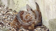 This small fawn huddles closely to a concrete structure for warmth and security while it's mother is away.