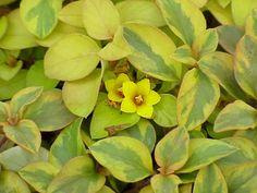lysimachia congestifolia /veriegated