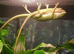 http://BlueChipMoney.com - Male #lizard holding up his #girlfriend so she can take a nap !!