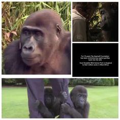 Het ontroerend weerzien van Damian Aspinall en zijn dochter Tansy, van de The Aspinall Foundation, met 2 gorilla's. Geboren in gevangenschap en teruggeplaatst in het wild. De herkenning is mooi om te zien. - The touching reunion of Damian Aspinall and his daughter Tansy, of The Aspinall Foundation, with two gorillas. Born in captivity and returned to the wild. The recognition is moving #gorillas #aspinellfoundation Watch this short movie: http://youtu.be/KCA63RsSyVw