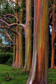 Australian Natives Rainbow Eucalyptus growing in Hawaii. Road to Hana, Maui. They are stunning and added to our adventure there! Kauai, Maui Hawaii, Maui Travel, Hawaii Vacation, Hawaii Trips, Maui Honeymoon, Vacation Travel, Vacations, Travel Destinations