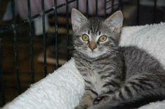 Cat ready for adoption: Tabby (short coat) named Nelson in Alpharetta, GA