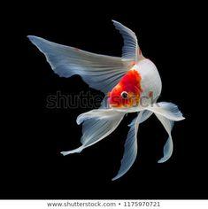 Koi fish isolated on black background with clipping path Pretty Fish, Beautiful Fish, Koi Art, Fish Art, Colorful Fish, Tropical Fish, Black Koi Fish, Koy Fish, Goldfish Types