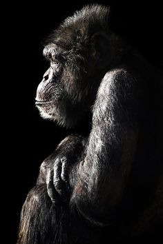 Chimpanzee - Most Beautiful Pictures