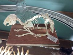 Collecting oddities? Here's a great rabbit skeleton.
