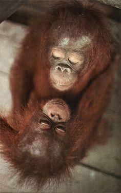 Vintage National Geographic — Orangutans in Indonesia National Geographic Borneo Orangutan, Sumatran Orangutan, Baby Orangutan, Animals And Pets, Baby Animals, Funny Animals, Cute Animals, Strange Animals, Wild Animals