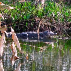 Alligator shot at Green Cay nature wetland. Boynton Beach, FL