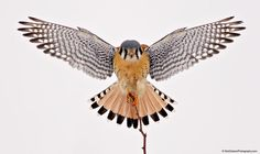 Kestrel - American Kestrel just as it landed on this small thorny branch. Photography by Rick Dobson Best Sleeve Tattoos, Up Tattoos, Body Art Tattoos, Future Tattoos, Hawk Wings, Falcon Tattoo, Falcon Hawk, Tree Tat, American Kestrel