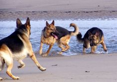 Group of GSDs enjoying a day at the beach.                                                                                                                                                                                 More