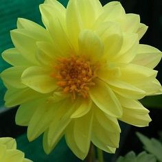 Dahlia (Dahlia Variabilis Dwarf Double Opera Yellow) - Grow your own Dahlia…