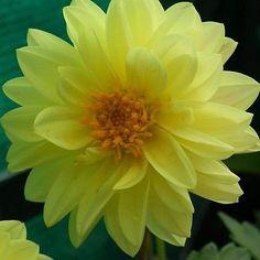Dahlia (Dahlia Variabilis Dwarf Double Opera Yellow) - Grow your own Dahlia…