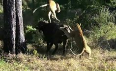 Incredible moment buffalo fights off two lions by flipping one 6ft into the air with its horns after SIX hour battle in South Africa - video