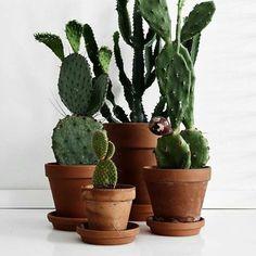 Geweldige cactussen in Oudhollandse terracotta potten!