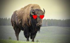Why Bison Do It All-Natural via @modfarm