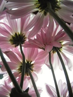 Daisies - what a great picture!!!  Have to remember this idea - take from underneath!