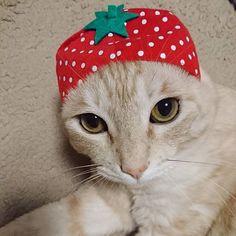 なんか、笑っちゃう😂😂😂 #ねこのかぶりもの#ねこフルーツちゃん#猫#cat#愛猫#猫バカ#茶トラ#うす茶トラ