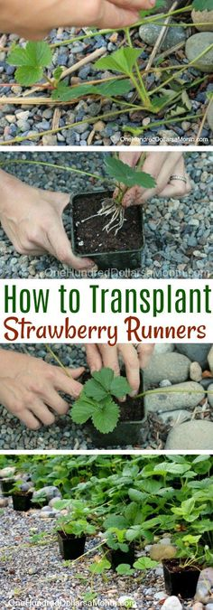 Transplanting Strawberry Runners - One Hundred Dollars a Month Now that I am basically starting from ground zero on my garden, I am being super diligent about getting the most out of everything I've planted. The strawberries that I planted this spring are Strawberry Plant Runners, Strawberry Plant Care, Strawberry Planters, Strawberry Garden, Organic Vegetables, Growing Vegetables, Vegetables Garden, Organic Gardening, Gardening Tips