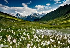 Stock Photo : Switerland - Balalp: Cotton Fields