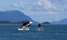 Killer Whales. This is how people should see them, wild and free. This is beautiful!