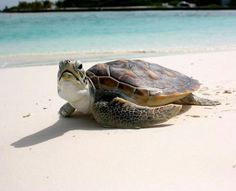 How Long do Tortoises Live? The Life of a Tortoise - Tortoise Pimp Ocean Creatures, Cute Creatures, Beautiful Creatures, Animals Beautiful, Baby Sea Turtles, Cute Turtles, Turtle Bay, Turtle Love, Animals And Pets