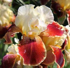 repatree reblooming Brown Flowers, Iris Flowers, Types Of Flowers, Yellow Flowers, Iris Garden, Flower Gardening, Garden Images, Bearded Iris, Most Beautiful Flowers