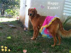Happy Easter #golden #goldenretriever #dog