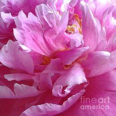 Pastel Flowers, Simple Flowers, Summer Flowers, Abstract Flowers, Beautiful Flowers Garden, Beautiful Roses, Pink Peonies, Peony, Pink Flower Pictures