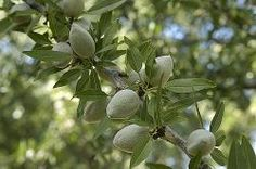 When specifying fruit trees, variety and rootstock are the two most important factors. Almost all fruit trees are grafted onto rootstocks. Schnapps Recipe, Dwarf Fruit Trees, Almond Nut, All Fruits, Mermaids And Mermen, Tree Nuts, Growing Tree, The Great Outdoors, Plant Based