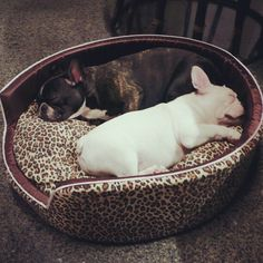 "My Lovely Frenchie ""Chao-Ha & Jaa-Choey"""