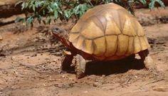 a ploughshare tortoises