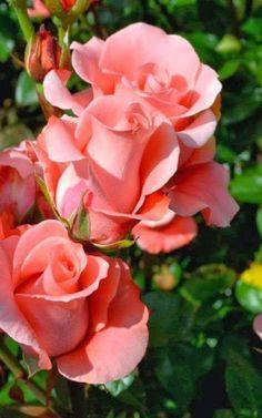 T: Rose