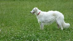 Borzoi standing on grassland