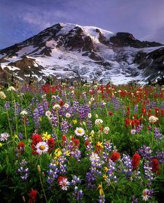 God's garden! Wildflowers, Mt. Rainier, Washington State
