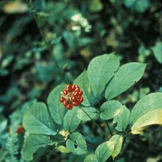 American ginseng is a native herb valued globally for its medicinal ...