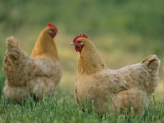 chickens: buff Orpington hens