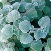 Nicolleta Plectranthus from Simply Beautiful Container Size, Flower Pots, Flowers, Drought Tolerant, Geraniums, Simply Beautiful, Plant Leaves, Backyard, Plants