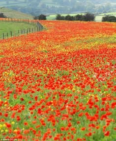 England Travel Inspiration - Magnificent field of bright red poppies near Shaftesbury in north Dorset covers several acres of farmland