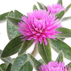 Learn how to grow and care for beautiful globe amaranth. Globe Amaranth, Window Boxes, Growing Plants, Dream Garden, Mother Earth, Shrubs, Pink Flowers, Trees, Gardening