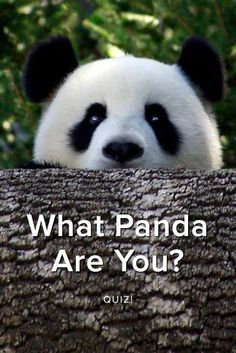 What Panda Are You? Which adorable snacking, napping trouble-making Panda are you? Take this quiz and find out today!