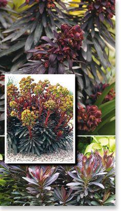 "Euphorbia ""Black Bird"". Dark green and dark bronze foliage with lime green flowers."