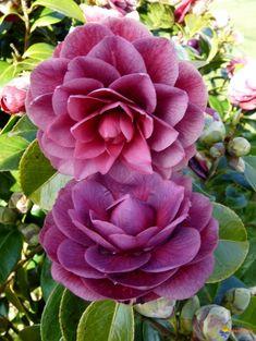Camellia japonica 'Sir Victor Davies' (N.Z., 1992)