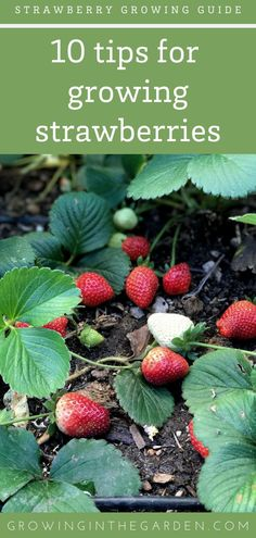 growing strawberries in containers Learn how to grow strawberries and pick them at the peak of ripeness and flavor. Keep reading for extra tips on how to grow strawber Strawberry Garden, Strawberry Plants, Fruit Garden, Strawberry Delight, Edible Garden, Types Of Strawberries, Growing Strawberries In Containers, Organic Mulch, Organic Gardening