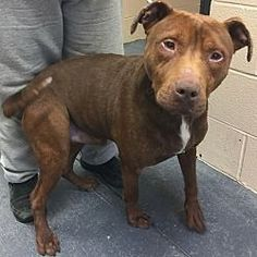 Pictures of Silas a Pit Bull Terrier for adoption in Morehead, KY who needs a loving home.