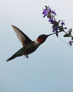 Hummingbird and Chaste Tree blossoms, photo by Joni Weber